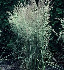 shade tolerant ornamental grasses and grass like plants beyond