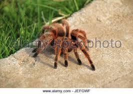 hairy brown pet tarantula spider sitting on a human hand stock