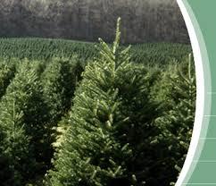 premium quality trees