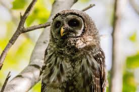 barred owl 1949805 1280 jpg