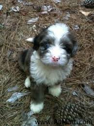 australian shepherd and husky mix best 25 australian shepherd poodle mix ideas on pinterest toy