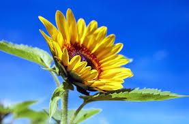 free photo sun flower flower flowers yellow free image on