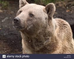 tisch family zoological gardens syrian brown bear ursus arctos syriacus stock photos u0026 syrian