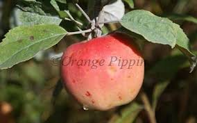 pink pearl apple trees for sale buy friendly advice