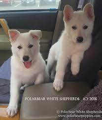 belgian sheepdog for adoption white german shepherd dogs u0026 puppies polarbear
