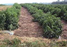mulching for weed management in organic vegetable production