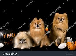 pet halloween background pomeranian dogs on a black background on a halloween themed set