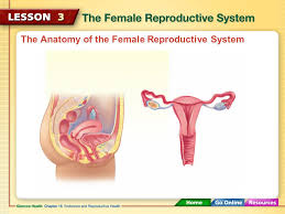 Anatomy Of Reproductive System Female Eggs Ovaries Uterus Ovulation Fallopian Tubes Menstruation