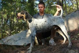 bluetick coonhound bloodlines started dogs at bluetick 1 kennels bluetick1kennels www
