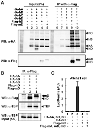 Flag Complex Reconstitution Of Human Rrna Gene Transcription In Mouse Cells By