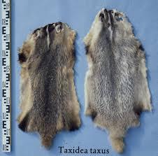 file taxidea taxus american badger fur skin jpg wikimedia commons
