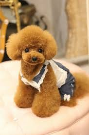 different toy poodle cuts japanese poodle cuts google search too cute pinterest