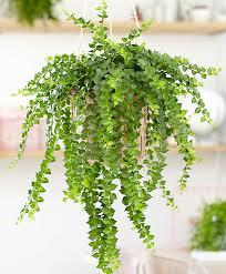 buy house plants now dischidia ruscifolia bakker com