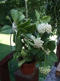 hoya pachyclada wax plant world of succulents