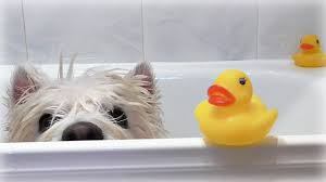 Dog In Shower by Romeo U0027s Bath Time Romeo Westie Senior Dog Lovely Dog