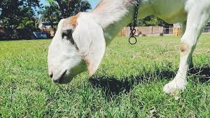 will a goat mow your grass lawn youtube