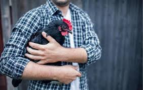 How To Raise Backyard Chickens For Eggs Everything You Need To Know About Raising Backyard Chickens