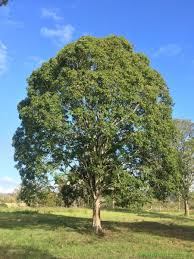 flindersia australis teak or crows ash tree