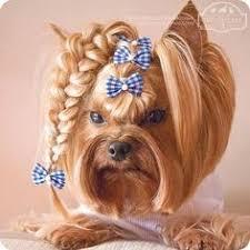 yorkie haircuts pictures only yep yorkies loves braids yorkies pinterest yorkies and animal