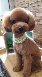 pictures of poodle haircuts poodles davinci hair cuts www tastefullysimple com web jhotes