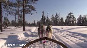 husky dog sled youtube
