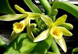 vanilla orchid vanilla planifolia vanilla orchid vine plants