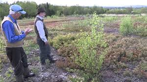 native alberta plants lowbush blueberry in maine native plants and native bees in a