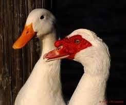 hola como puedo hacer unas alas de pato para nia de 4 cabañas avícolas el choique argentavis patos criollos o mudos