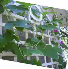 larry u0027s creative zone vines and trellis