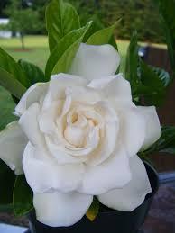 Gardinia Home Decor 266 Best Gardenia Jasmin Tuberose Images On Pinterest White