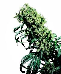 Low Light Flowering Plants by Cannabis Seeds For Xxl Yields Sensi Seeds