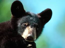 Black Bear Decorations Home Images About Bears On Pinterest Polar Black Bear And The Idolza