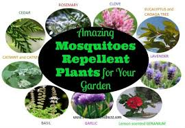 mosquito plants 10 amazing mosquito repellent plants