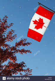the canadian national flag and a red maple tree in the fall stock