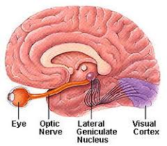 Pathway Of Light Through The Eye Glaucoma And The Brain Glaucoma Research Foundation