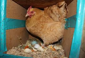 lessons i u0027ve learned after five years of chicken raising