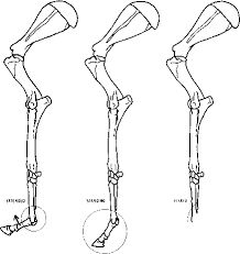 Dog Anatomy Front Leg Hind Foot Animal Anatomy Joshua Nava Arts