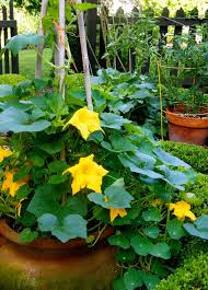 Growing Melons On A Trellis Growing Pumpkins In Containers How To Grow Pumpkins In Pots