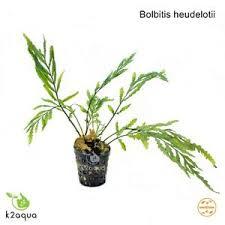 Aquascape Aquarium Plants Bolbitis Heudelotii Live Aquarium Plants Java Fern Aquascaping