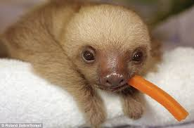 living in the hundreds of orphaned sloths given a new