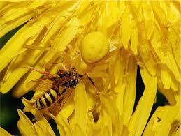 Dandelion Facts Spider Facts Goldenrod Crab Spider
