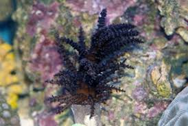 tree coral studeriotes sp saltwater coral for sale