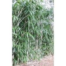 bamboo plants for sale buy bamboo plants black bamboo