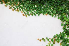 the green creeper plant on wall stock photo picture and royalty