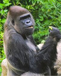 Gorilla Why You Should Eat Like A Wild Gorilla Huffpost