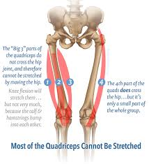 Knee Compartments Anatomy Massage Therapy For Your Quads