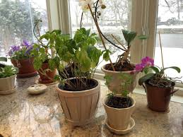how to help your indoor herb garden thrive u2013 even in winter the