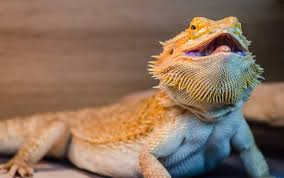 types bearded dragon bearded dragon care