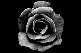 black roses varying meanings of the black based on different perspectives