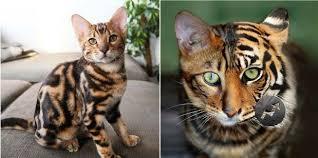 beautiful kittens top 10 beautiful cat breeds in the world beautiful kittens cats
